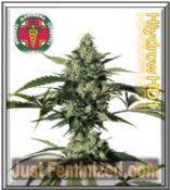 Medical Marijuana Genetics Hiydrowr (HY-1) Cannabis Seeds Cheap